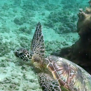 Kauai's Turtles Are In Trouble